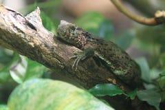 中国鳄鱼蜥蜴 免版税库存图片