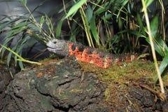 中国鳄鱼蜥蜴 免版税库存照片