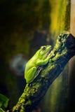 中国滑动的雨蛙 免版税库存图片