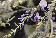 中国紫藤绽放 库存图片