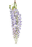 中国紫藤(紫藤sinensis) 库存图片