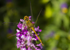 中国蜻蜓 图库摄影