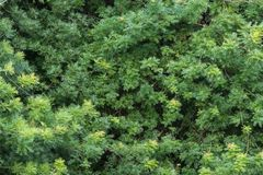 中国黄连树新鲜的绿色叶子墙壁  免版税库存照片