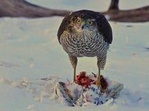 击中在冬天风景4的一只鸽子的Sparrowhawk 库存图片