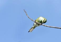 击中在分支的食蜂鸟牺牲者 免版税库存图片