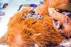 水中在水族馆的色的海葵属 库存照片