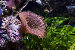 水中在水族馆的色的海葵属 图库摄影