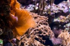 水中在水族馆的色的海葵属 免版税库存照片