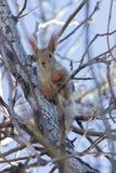 中型松鼠 图库摄影