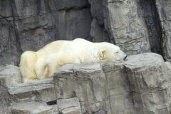 中央公园动物园北极熊 免版税库存图片
