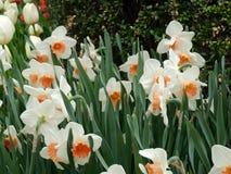 中央公园纽约春天水仙 库存图片