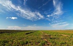 -中央谷地-被打包的紫花苜蓿领域-裁减-倾斜 库存照片