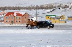 中央Aimag,蒙古12月, 03 2015年:骆驼在有汽车的一条皮带在Terelj国家公园 免版税库存照片