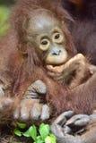 中央Bornean猩猩类人猿pygmaeus wurmbii Cub在自然生态环境 在婆罗洲的热带雨林的狂放的自然 ind 免版税图库摄影