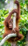 中央Bornean猩猩类人猿pygmaeus wurmbii Cub  图库摄影