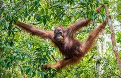 中央Bornean猩猩& x28;类人猿pygmaeus wurmbii & x29;在自然生态环境 库存照片