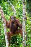 中央Bornean猩猩 类人猿pygmaeus wurmbii 库存图片