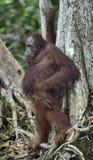 中央Bornean猩猩 免版税库存照片