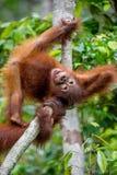 中央Bornean猩猩Cub  库存照片