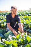 中年人用有机沙拉圆白菜在一个菜园里 农业 库存照片