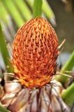 中心棕榈树 免版税库存照片