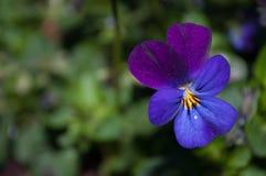 中提琴三色花在一个狂放的庭院里 免版税库存图片