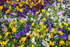 中提琴种植开花在De Bosrand园艺中心 图库摄影