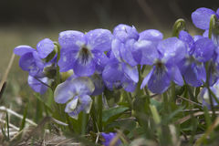 中提琴紫罗兰 免版税库存照片