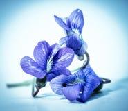 中提琴Sororia共同的蓝色紫罗兰 库存图片