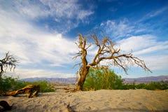 中断的结构树在死亡谷 免版税库存照片