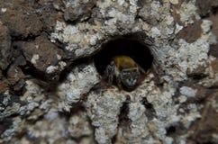 中美洲无刺的蜂。 免版税库存图片