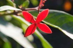 中美洲红色花  库存图片