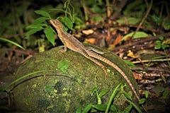 中美洲Whiptail蜥蜴在曼纽尔安东尼奥国家公园,哥斯达黎加 免版税库存图片