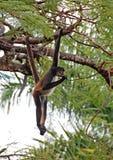 中美洲蜘蛛猴 库存图片