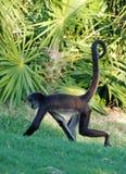 中美洲蜘蛛猴 免版税库存照片