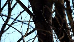 中部在寻找在树的树干的冬天察觉了啄木鸟幼虫 股票视频