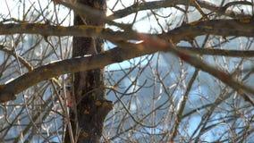 中部在寻找在树的树干的冬天察觉了啄木鸟幼虫 影视素材