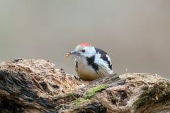 中部察觉了与一只蠕虫的啄木鸟在它的额嘴 库存照片
