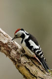 中部被察觉的啄木鸟坐分支 库存照片