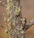 中间名被察觉的啄木鸟 库存照片