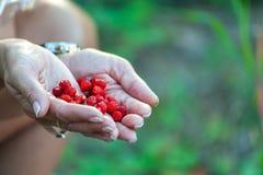 中间年迈的妇女的两只手用里面红色成熟野草莓,在模糊的绿色庭院或forrest背景 库存图片
