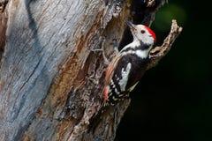 中间被察觉的啄木鸟 免版税图库摄影