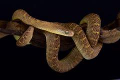中非鸡蛋吃蛇Dasypeltis fasciata 库存照片