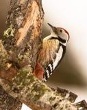 中间被察觉的啄木鸟 库存照片
