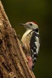 中间被察觉的啄木鸟 免版税库存照片