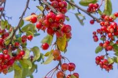 丰富的微小的红色莓果特写镜头在树枝垂悬的 免版税库存照片