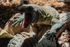 丰希罗拉, ANDALUCIA/SPAIN - 7月4日:在生物监控蜥蜴 免版税库存图片