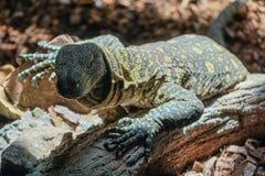 丰希罗拉, ANDALUCIA/SPAIN - 7月4日:在生物监控蜥蜴 图库摄影