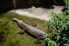 丰希罗拉, ANDALUCIA/SPAIN - 7月4日:马来鳄鱼类马来鳄鱼类schl 库存图片