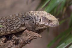 串珠的蜥蜴墨西哥 免版税库存照片